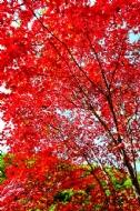 枫叶红满天